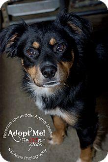 Australian Shepherd Mix Dog for adoption in New Oxford, Pennsylvania - Ralph