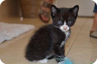 Domestic Shorthair Kitten for adoption in Beverly Hills, California - Ricky