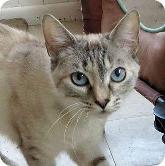 Siamese Cat for adoption in Middletown, New York - Moira