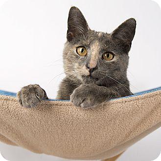 Domestic Shorthair Cat for adoption in Wilmington, Delaware - Petunia
