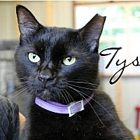Domestic Mediumhair Cat for adoption in Wichita Falls, Texas - Tyson