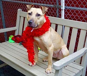 Pit Bull Terrier Mix Dog for adoption in Manhattan, New York - Magnolia