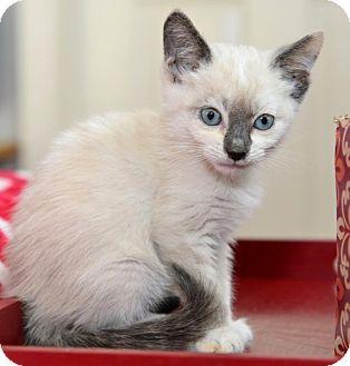 Snowshoe Kitten for adoption in Davis, California - Trista