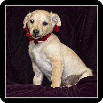 Miniature Pinscher/Maltese Mix Puppy for adoption in San Diego, California - Marty