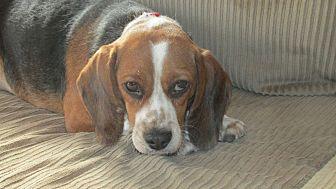 Beagle Dog for adoption in Franklin, Virginia - Mandy