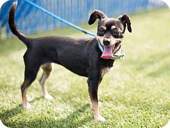 Chihuahua Mix Dog for adoption in Hawthorne, California - Praline