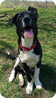 Border Collie/Boxer Mix Puppy for adoption in Lisbon, Ohio - Gatsby