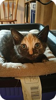Domestic Shorthair Kitten for adoption in Palmyra, New Jersey - Star