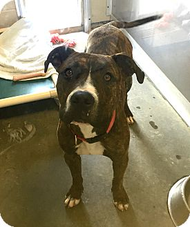 Pit Bull Terrier Mix Dog for adoption in Wilmington, Delaware - Tyco