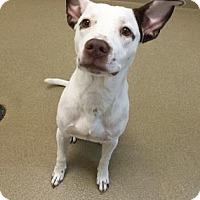 American Bulldog Mix Dog for adoption in Miami, Florida - Googly Boogly