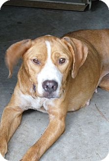 Labrador Retriever Mix Dog for adoption in Henderson, North Carolina - Ashley*