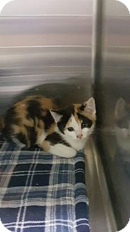 Calico Kitten for adoption in Cody, Wyoming - Agatha