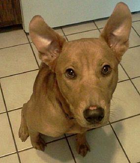 Carolina Dog Mix Dog for adoption in Brooksville, Florida - Jewels
