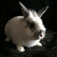 Adopt A Pet :: Cosmo - Watauga, TX