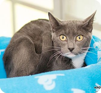 Domestic Shorthair Cat for adoption in Houston, Texas - Simon