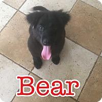 Adopt A Pet :: Bear pending adoption - Manchester, CT