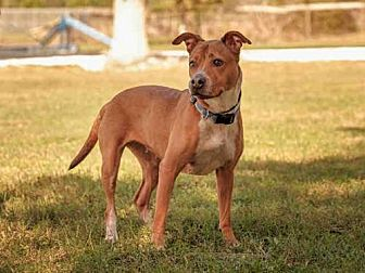 Pit Bull Terrier Mix Dog for adoption in Vero Beach, Florida - NINA