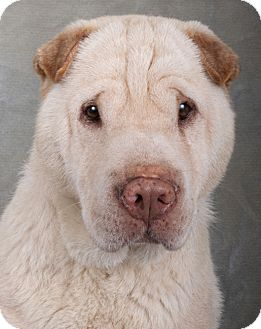 Shar Pei Dog for adoption in Chicago, Illinois - Mr. Ming