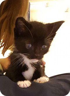 Domestic Shorthair Kitten for adoption in ROSENBERG, Texas - Leonard