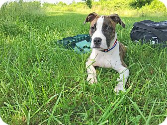 Pit Bull Terrier Mix Puppy for adoption in Baltimore, Maryland - Badger