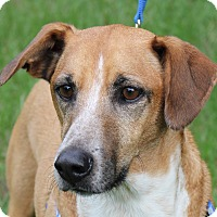 Whippet Mix Dog for adoption in Carrollton, Texas - ROONEY