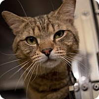Domestic Shorthair Cat for adoption in Richmond, Virginia - James Bond