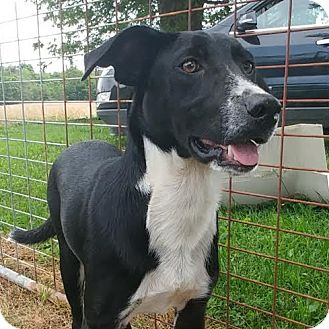 Border Collie Mix Puppy for adoption in Union City, Tennessee - Heidi