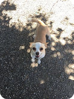Chihuahua Mix Dog for adoption in Ripon, California - OSCAR