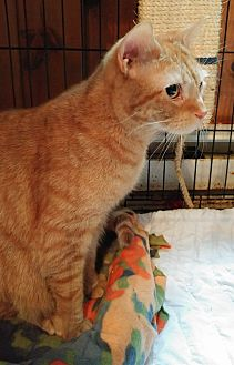 Domestic Shorthair Cat for adoption in Middletown, New York - Leo