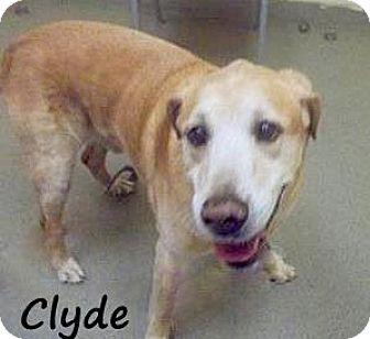 Labrador Retriever/Golden Retriever Mix Dog for adoption in Palm Coast, Florida - CLYDE