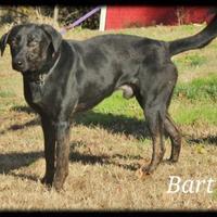 Adopt A Pet :: Bart *Graduate* - Glen Allen, VA
