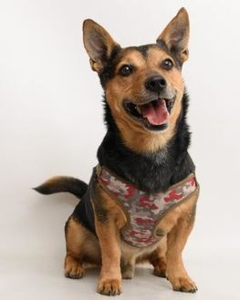 Corgi Mix Dog for adoption in Santa Cruz, California - Nacho