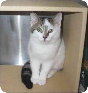 Domestic Shorthair Kitten for adoption in Colmar, Pennsylvania - Tara