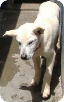 Shar Pei Mix Puppy for adoption in Inman, South Carolina - Bumper