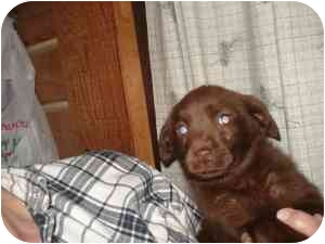 Labrador Retriever/Australian Shepherd Mix Puppy for adoption in Lonedell, Missouri - Jag
