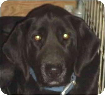 Australian Shepherd/Labrador Retriever Mix Dog for adoption in Minerva, Ohio - Moose