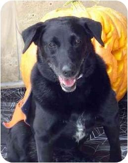 Labrador Retriever Mix Dog for adoption in Evergreen, Colorado - Precious