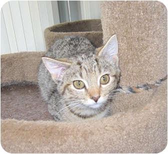 Domestic Shorthair Kitten for adoption in Catasauqua, Pennsylvania - Dolce