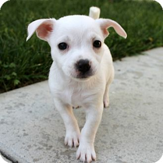 Chihuahua/Pug Mix Puppy for adoption in Tustin, California - Felice