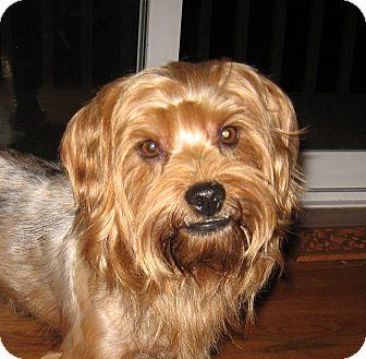 Yorkie, Yorkshire Terrier Mix Dog for adoption in Cincinnati, Ohio - Big Boy