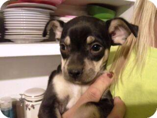Miniature Pinscher/Pug Mix Puppy for adoption in Chandler, Arizona - Michelle