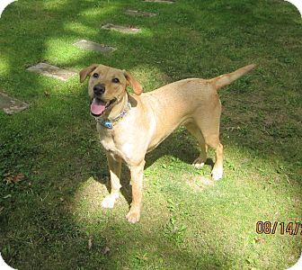 Golden Retriever/Labrador Retriever Mix Dog for adoption in Elyria, Ohio - Bella