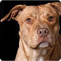 American Staffordshire Terrier/Pointer Mix Dog for adoption in Polson, Montana - Abby
