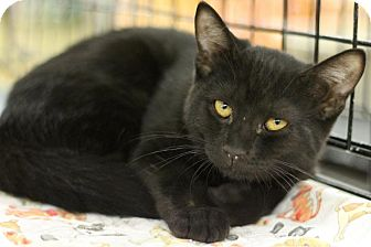 Domestic Shorthair Kitten for adoption in Sacramento, California - Secretariat