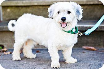 Schnauzer (Standard)/Dachshund Mix Dog for adoption in Houston, Texas - Dave