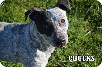 Blue Heeler Dog for adoption in Texarkana, Arkansas - Chucks