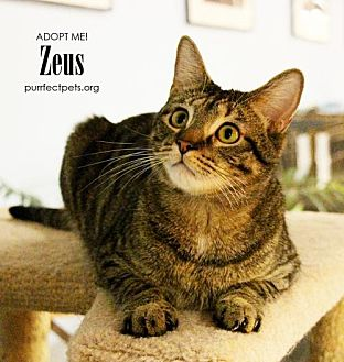 Domestic Shorthair Cat for adoption in Overland Park, Kansas - Zeus