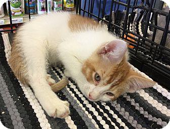 Domestic Shorthair Kitten for adoption in Gilbert, Arizona - Darby