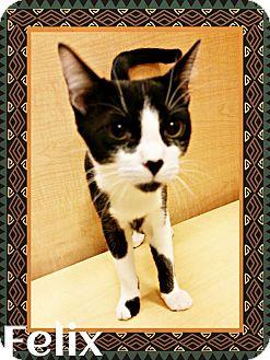 Domestic Shorthair Cat for adoption in New Braunfels, Texas - Felix