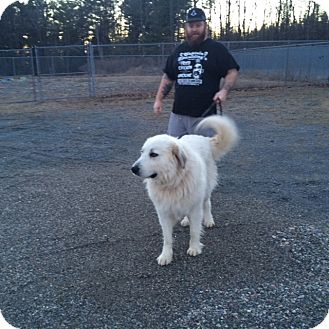 Great Pyrenees Dog for adoption in Lee, Massachusetts - Rudy - in NY